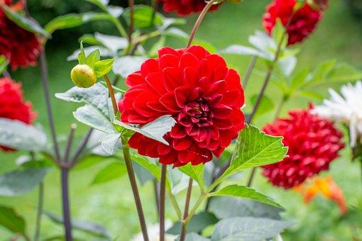 Flower, Flowers, Red, Gorgeous, Garden, Garden Flowers