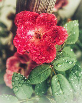 Rose, Flower, Nature, Bloom, Blossom, Red, Plant