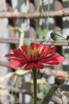 Flower, Red, Bloom, Petals, Close Up, Petal, Garden