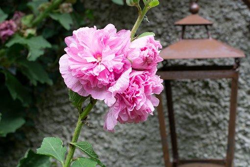 Stock Rose, Pink, Flowers, Flower, Garden