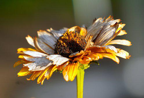 Coneflower, Flower, Withered, Faded, Transient