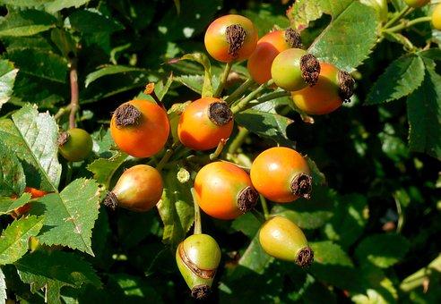 Dog Rose, Rosa Canina, Rose Hips, Fruits, Summer