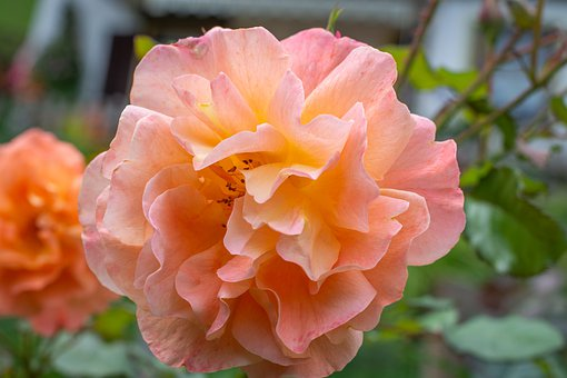 Flower, Blossom, Bloom, Salmon, Petals, Garden
