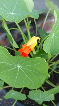 Nasturtium Flowers, Plant, Orange, Bloom, Garden, Flora
