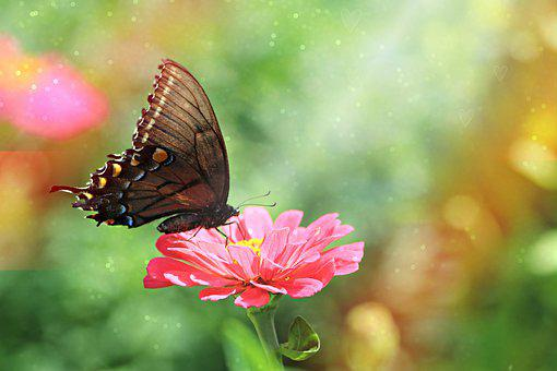 Butterfly, Zinnia, Nature, Garden, Flower, Summer
