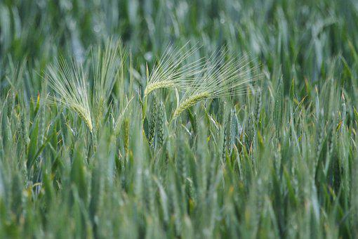 Cereals, Harvest, Agriculture, Wheat, Grain, Cornfield