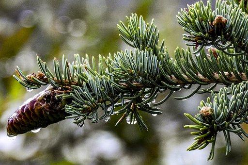 Pinecone, Tree, Nature, Pine, Christmas, Green, Fir