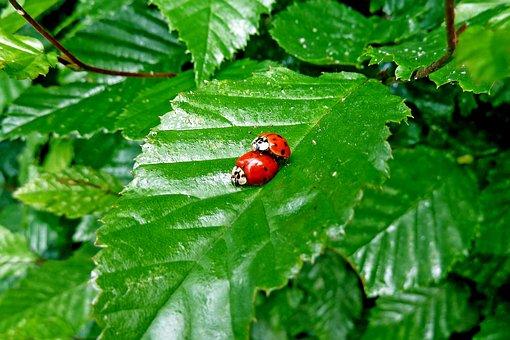 Marienkäfer, Käfer, Paarung, Ladybug, Nature, Insect