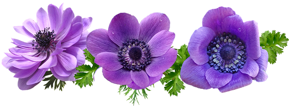 Flowers, Purple, Anemone, Leaves, Cut Out, Isolated