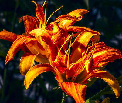 Daylilies, Hemerocallis, Flower, Lily, Bloom, Garden