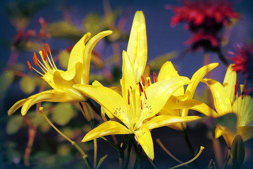 Yellow, Lilies, Bloom, Blossom, Nature, Lily, Flower
