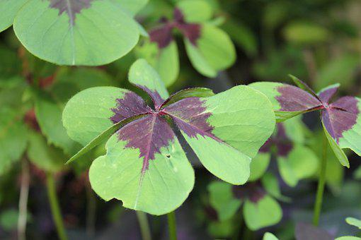 Klee, Luck, Lucky Charm, Clover, Turn Of The Year