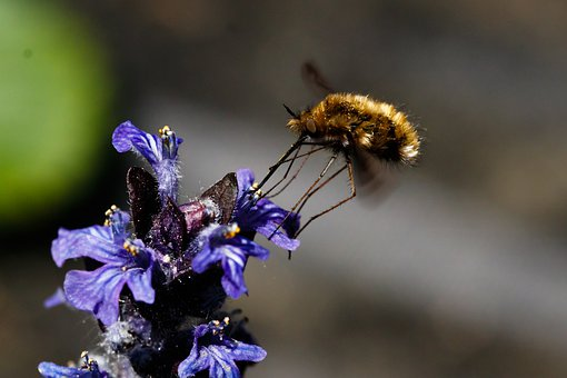Bombyliidae, Insect, Macro, Flight Insect, Proboscis