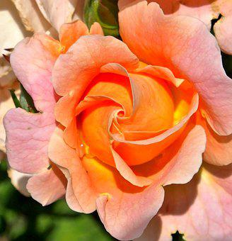 Rose, Marie Height, Dieter Hausen, Pink, Apricot