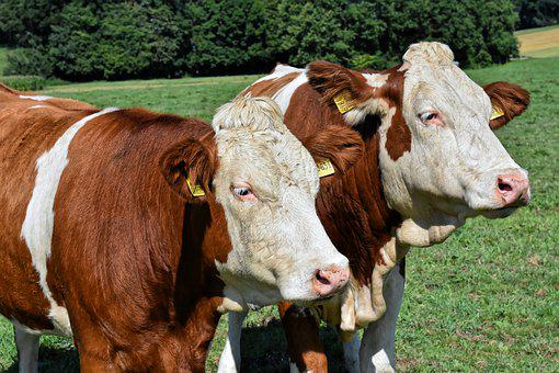 Cows, Pasture, Agriculture, Animal, Cattle, Nature