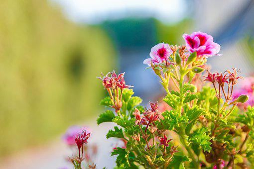Flowers, Nature, Pink, Garden Plant, Summer, Floral