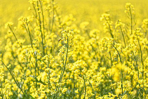 Oilseed Rape, Field Of Rapeseeds, Yellow, Plant