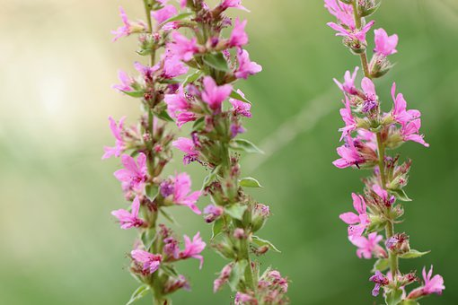 Loosestrife, Ordinary Loosestrife, Willow Herb, Flowers