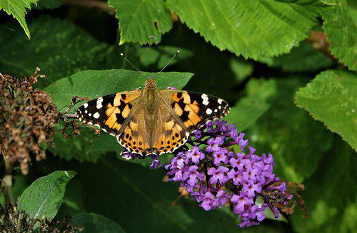 Painted Lady, Butterfly, Insect, Nature, Spring, Summer