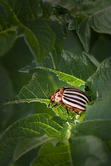 Potato Beetle, Pest, Potato, Insect, Beetle, Leaf