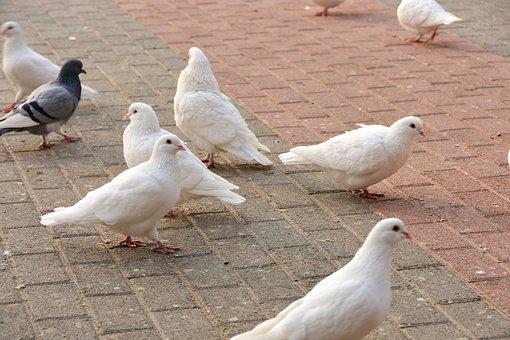 Pigeon, Animal, Rest, Square