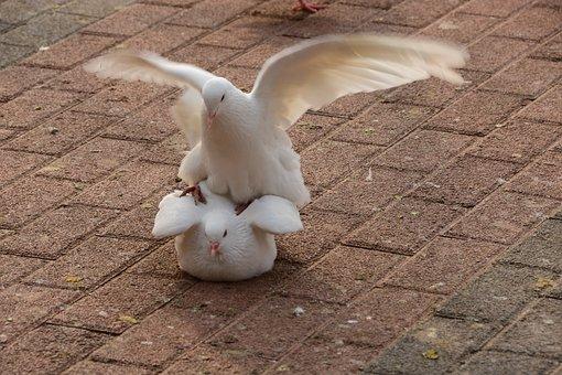 Pigeons, Animals, Squares, Fights