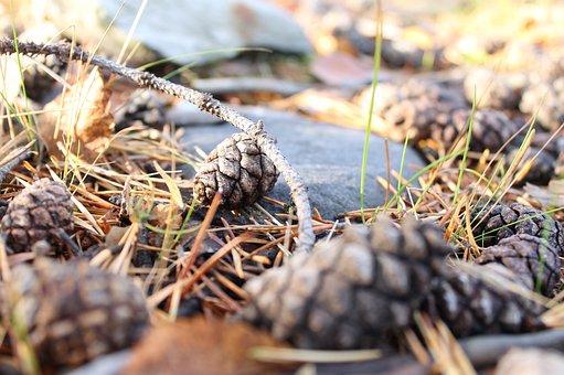 Pinecone, Forest, Nature, Pine, Autumn, Season, Fall