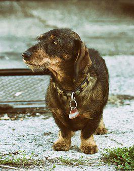 Rauhaardackel, Dog, Animal, Dachshund, Pet, Race