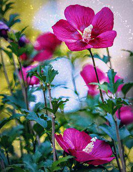 Rose Of Sharon, Pink, Bright, Bokeh, Vivid, Garden