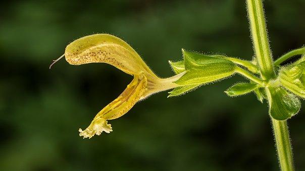 Sage, Yellow Sage, Sticky Sage, Salvia Glutinosa