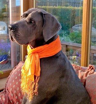 Great Dane, Blue, Scarf, Orange, Dog, Pet, Canine, Gray