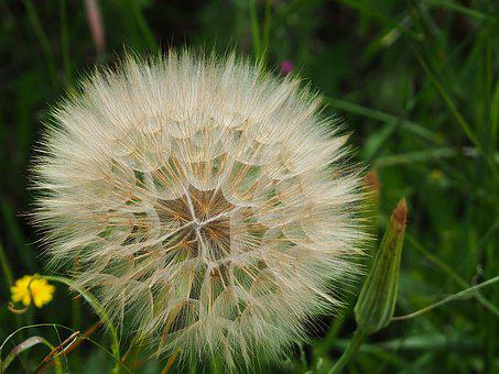 Dandelion, Flower, Seeds, Nature, Plant, Flora, Bloom