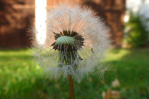 Dandelion, Nature, Plant, Flower, Seeds, Summer