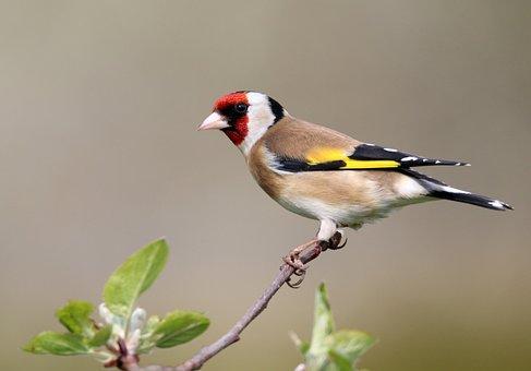 Stieglitz, Bird, Spring, Branch, Plumage