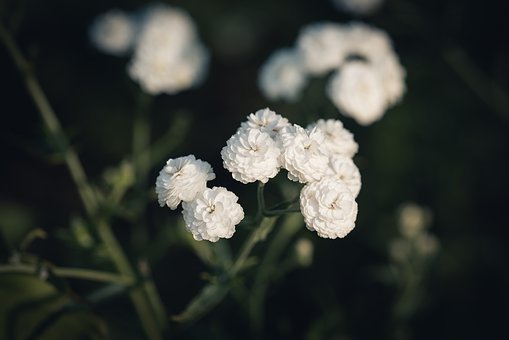 Flowers, White, Flower, Garden, Summer, Nature, Flora