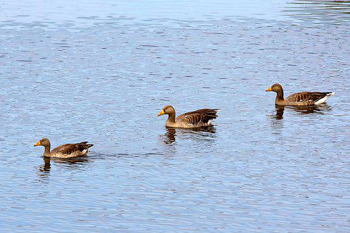 Ducks, Family, Lake, Ducklings, Nature, Swim