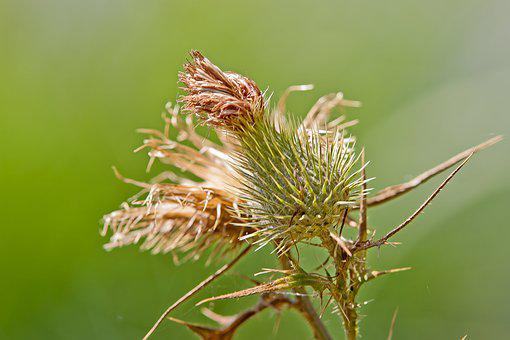 Thistle, Spur, Plant, Nature, Prickly, Flower, Summer