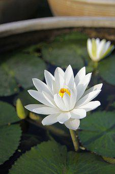 White Water Lily, Pond, Bloom, Flower, Blossom