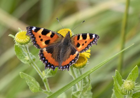 Small-tortoiseshell, Butterfly, Insect, Wing, Summer