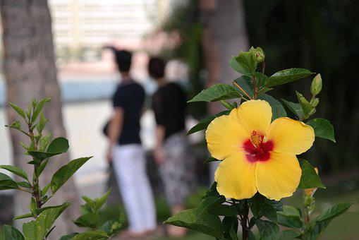 Hawaii, Hibiscus, Blossom, Bloom, Yellow, Pair, Gay