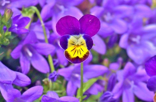 400–500, Pansy, Purple, Yellow, White, Bluebells