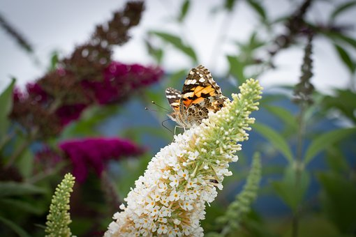 Butterfly, Lilac, Summer Lilac, Animal, Insect, Nature