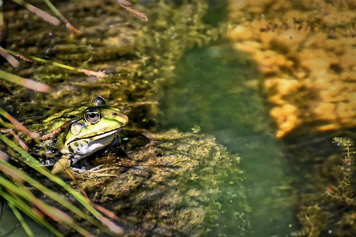Frog, Animal, Water, Pond, Water Frog, Green, Nature