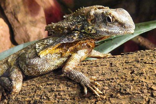 Animal World, Lizard, Dragon, Scale, Exotic, Reptile