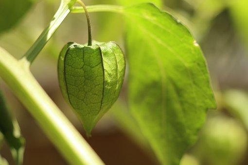 Wild Fruit, Green Lantern, Heart Hanging, Backyard