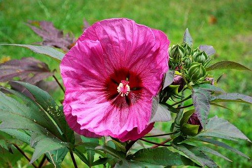 Flower, Large, Pink, Beautiful, Hibiscus, Rosehip