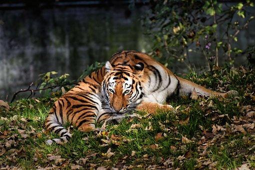 Tiger, Big Cat, Predator, Wildcat, Dangerous, Zoo