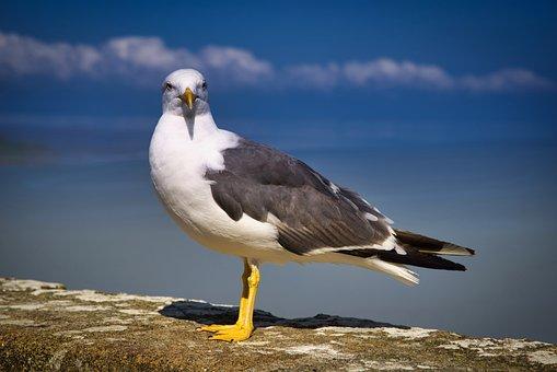 Bird, Gull, Seagull, Animal, Nature, Fauna, Wildlife