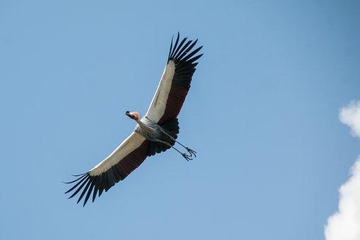 Bird, Sky, Flying, Freedom, Wild, Nature, Crane Bird
