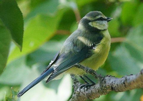 Nature, Birds, Titmouse, Tit